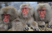 ocean-blue-snow-monkeys